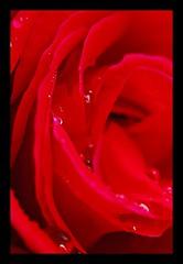 5 - 27 mai 2010 Maisons-Alfort Une petite promenade aprs la pluie... Rue Edmond Nocard Gouttes de pluie sur une rose rouge (melina1965) Tags: flowers roses flower macro water fleur rain rose fleurs spring nikon waterdrop eau ledefrance may pluie mai redrule waterdrops printemps 2010 bffs valdemarne gr8 gouttedeau gouttesdeau maisonsalfort d80 amomentoflife photoscape checkoutmynewpics bestflickrfriends umbralaward norulesphoto travelmyownimages