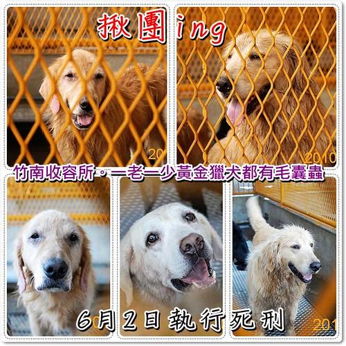 「開團中」竹南收容所剩幾天機會的一老一少黃金獵犬都有毛囊蟲,越多人加入他們才有機會重生,您願意幫他們一把嗎?轉PO也是很重要,謝謝您,20100529