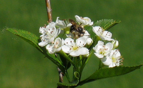 Bee on Hawthorne tree flower