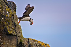 Puffin away (Photographic View Scotland) Tags: birds scotland fife wildlife puffins anstruther isleofmay eastneuk supershot specanimal mywinners abigfave