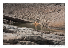 Tiger (T-40) as they call him resting in the afternoon heat (Sameer Karmarkar) Tags: india birds forest wildlife tiger conservation foliage vulture ranthambhore royalbengaltiger