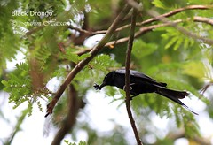 Black Drongo (Fahim Hassan) Tags: naturaleza nature beauty birds canon natur beaut environment hermoso  bangladesh beau belleza environnement schnheit umwelt ambiente   milieu  blackdrongo schoonheid