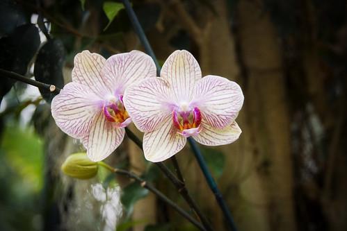biltmore orchid