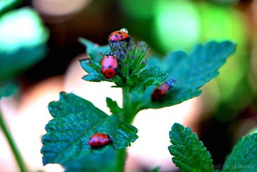 busy little ladybugs