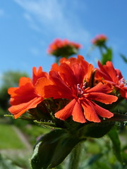 Burning Love (cangaroojack) Tags: flowers blue red sky flower green rot fleur closeup garden rouge jardin blumen beet blume garten rote brennendeliebe firletka  chalcedoska