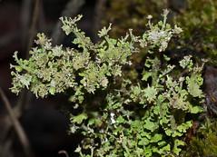 Cladonia multiformis 'Sieve Lichen' (dougwaylett) Tags: canada alberta lichens cladonia cladoniamultiformis sievelichen hilliardsbayprovincialpark taxonomy:binomial=cladoniamultiformis