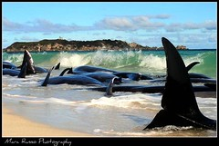 Hamelin bay beached whales (Marc Russo (Australia)) Tags: ocean life rescue beach for bay fight long australia save marc western beached whale whales fin stranded pilot russo hamelin
