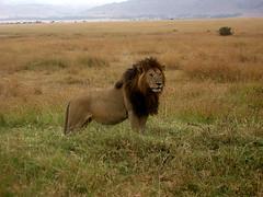 Lion (Hkan Gustafsson) Tags: africa grass kenya lion savannah predators masaimara