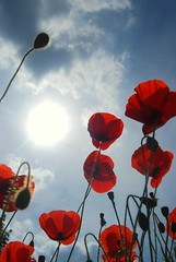 Poppies in Luynes (lacesee) Tags: flowers blue red sky sun green clouds petals glare poppy poppies lowangle poppys luynes d40x