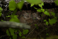 Canada Lynx kittens replaced into their den (U. S. Fish and Wildlife Service - Northeast Region) Tags: canada me maine conservation habitat lynx usfws claytonlake fishandwildlifeservice canadalynx lynxcanadensis usfishandwildlife lynxkitten greatnorthwoods