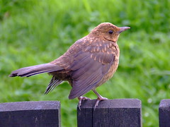 LEARNING TO FLY. (the water watcher 05.) Tags: brown green bird grass fence scotland wings beak feathers turdusmerula blackbird borders claws dumfriesandgalloway fledgeling dumfriesshire langholm fujifinepixs5600 femaleblackbird youngblackbird gorling