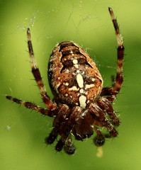 Common Garden spider (Andreadm66) Tags: macro nature bug spider orbspider araneusdiadematus araneus creepycrawly diadematus commongardenspider beautifulmonsters