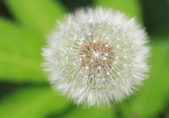 Dandelion Beauty (Spice  Trying to Catch Up!) Tags: plants white flower macro green art nature june japan canon geotagged photography eos interesting asia flickr colours image bokeh wordpress picture blogger dandelion livejournal explore  vox    gettyimages 2010 facebook friendster multiply    6    bogger twitter tochigiken  canoneos7d twitpic