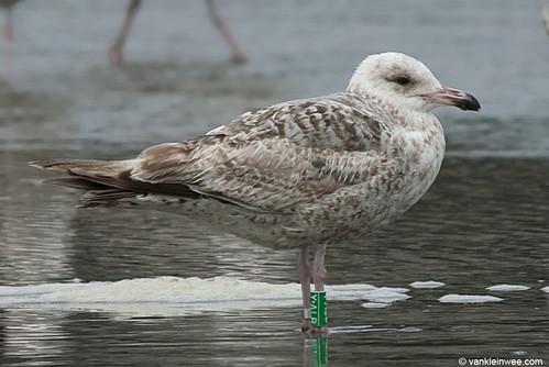 European Herring Gull, 2cy, G[Y.ALB]
