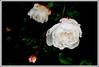 2 - 16 juin 2010 Maisons-Alfort Bords de Marne Rose blanche (melina1965) Tags: flowers roses flower macro fleur june rose fleurs juin spring nikon îledefrance buds bud printemps 2010 bouton valdemarne boutons maisonsalfort d80 photoscape checkoutmynewpics notwithoutmycamera nosinmicámara