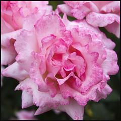 Happy weekend (Pilar Azaña Talán ) Tags: rose rosa elegancia happyweekend colorrosa mywinners abigfave 100commentgroup theperfectpinkdiamond updatecollection pilarazaña
