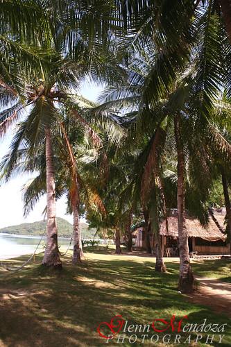 Banana Island's Coco Tree