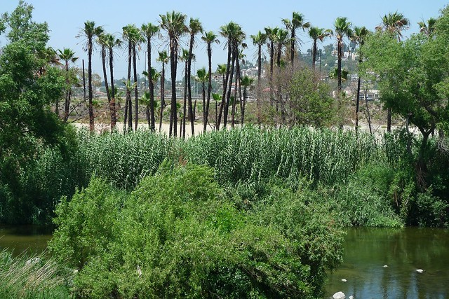 Palm oasis in the LA River