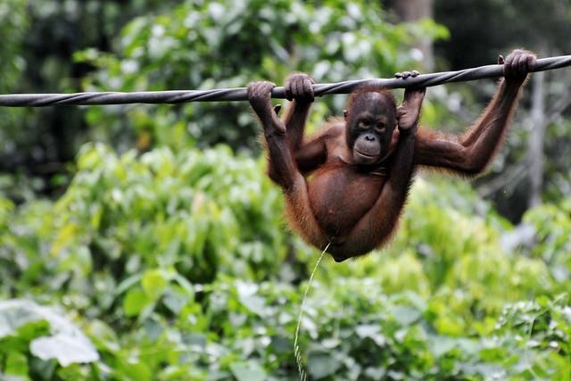 Borneo Orang Outan