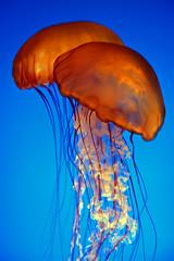 Jellyfish (Stewart =W=) Tags: california blue orange usa america aquarium monterey nikon jellyfish de40