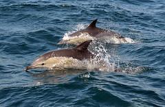(Dolphinsouthalgarve) Tags: ocean black portugal marina de atlantic dolphins algarve common runner albufeira oceano atlantico driven bottlenose golfinhos comuns roazes sunsation dreamwave