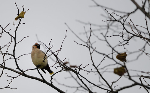 Waxwing Burnley Lancashire