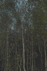(Przemyslaw.Stroinski) Tags: light sky white tree nature yellow dawn flora sigma autumns kind birch siena leafs nodes ocher dp1 sigmadp1 paleseptember