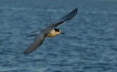 In flight (Jaedde & Sis) Tags: bird flying sis tern twothumbsup bigmomma terne 15challengeswinner challengefactorywinner thechallengefactory storybookwinner pregamewinner