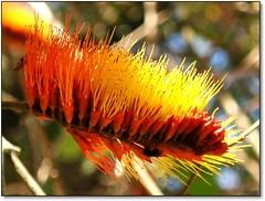 No meio do caminho tinha uma rvore... (Marina Linhares) Tags: flowers plant flores tree planta nature leaf natureza climbing tropical folha rvore trepadeira escovademacaco brushtomonkey