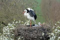 HNS_2562 Ooievaar : Cigogne blanche : Ciconia ciconia : Weissstorch : White Stork