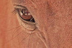 Cavallo Fonnese (leonardogiangori) Tags: cheval sardegna fonni horse eye occhio cavallo