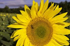 IMGP8248 (sapiens5) Tags: sunflower tournesol fleur végétal extérieur pentax k5iis 1685 hd