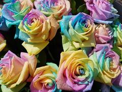 20170630_160443 (Daniella Velings) Tags: multicolored kleurrijk roses artificiallycoloured beautiful rainbowcolouredroses rainbow rozen