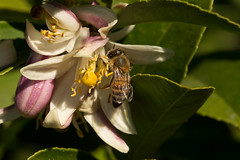 2017-185 Honeybee in a Lime Flower (straehle) Tags: 100mmf28 5dmkiii california geotagged project365 santabarbara goleta unitedstates geo:city=goleta exif:aperture=ƒ11 geo:lat=34429254 camera:make=canon exif:isospeed=100 exif:lens=ef100mmf28lmacroisusm geo:state=california geo:country=unitedstates exif:model=canoneos5dmarkiii exif:focallength=100mm geo:location=41004116lagodrive geo:lon=119760631 camera:model=canoneos5dmarkiii exif:make=canon project365070417