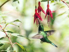 IMG_9413 Booted Racket-tail (female) (suebmtl) Tags: bird birding hummingbird ecuador pichinchaprovince bootedrackettail ocreatusunderwoodii mindo lindomindo