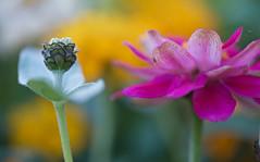 The Mother And Child Reunion (setoboonhong) Tags: nature outdoor rosalind park bendigo zinnia flower buds petals close up depth field bokeh blur garden