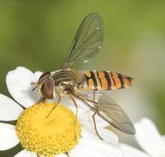 Syrphini - Episyrphus balteatus - #2 (Ben Revell) Tags: animalia arthropoda insecta diptera syrphidae syrphini episyrphus episyrphusbalteatus hoverfly scunthorpe lincolnshire england