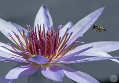 Golden touch (LostRunes) Tags: pollen golden bee flower waterlily story flying secret gold heart treasure violet purple