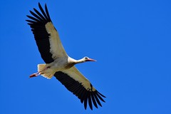 DSC_6932 (franckp64) Tags: oasideiquadris fagagna volo fly ciconiaciconia whitestork cicognabianca uccelli bird stork cicogna