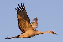 IMG_0913 Sandhill Crane (cmsheehyjr) Tags: cmsheehy colemansheehy nature wildlife bird crane sandhillcrane paynesprairie gainesville florida gruscanadensis