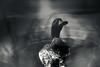 Duck Side Down (Kevin STRAGLIATI) Tags: water upsidedown duck nature