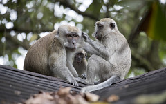 Long Tailed Macaques. (richard.mcmanus.) Tags: longtailedmacaques monkeys macaques primate singapore rainforest