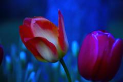 Tulips. (Photolove2017) Tags: tiaphoto tourism tulips nikondx nikon ottawagatineau canada colors photolove2017 d3100 nature lily