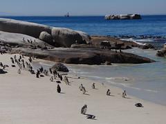 The penguins of Boulders Beach, Simon's Town, Cape Town (rjmiller1807) Tags: penguins simonstown capetown westerncape southafrica africanpenguins spheniscusdemersus sea sand beach birds colony boulders bouldersbeach foxybeach cute 2017 march