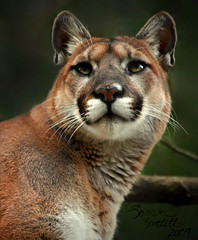 American Mountain Lion (Little Lioness) Tags: eyes animalrights bigcat huge northamerica liger puma panther cougar mountainlion redcoat oregonzoo suffer pumaconcolor catamount tigon portlandzoo vosplusbellesphotos hybridbigcat exoticanimalownership mutantbigcat cougarguardianspirit pumaguardianspirit mountainlionguardianspirit cutebabymountainlion mountainlionkitten mountainlionasapet exoticanimalbreeds exoticmountainlionpet petmountainlion babypumaanimal