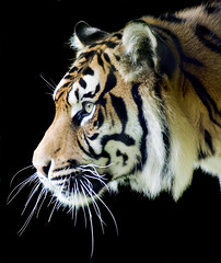 Sumatran Tiger Profile on Black (Steve Wilson - classic view please) Tags: uk portrait mountain black up animal closeup wales cat sumatra geotagged asian mammal zoo bay big nikon feline asia close britain stripes wildlife teeth tiger great profile north yawn bigcat breeding welsh endangered d200 captive geotag rare tigris sumatran tyger captivity carnivore williamblake onblack colwynbay northwales welshmountainzoo colwyn nikond200