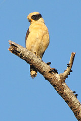 Laughing Falcon Hacienda Baru 2387 (Connie Shoals) Tags: birds costarica places animalia edits haciendabaru handedits