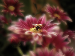 Mr.Bee ... (Raff@) Tags: searchthebest bee distillery soe supershot mrbee beautifulphoto abigfave flickrdiamond theunforgettablepictures saariysqualitypictures mixofflowers