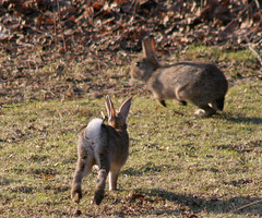 Wildebuns (Tomi Tapio) Tags: cute rabbit bunny bunnies helsinki legs iso400 tail butt rear ears running rabbits hurry tlnlahti villikani canonef90300mmf4556usm