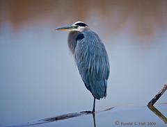 Blue Heron (Harold Hall) Tags: blue bird water del apache bosque herron canonef600mmf4lisusmlensgroup
